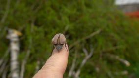 Maybug na palcu zbiory
