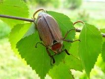 Maybug op een boom Royalty-vrije Stock Afbeeldingen