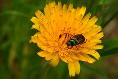 Maybug op een gele bloem stock fotografie
