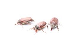 Maybug Stock Images