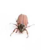 Maybug Stock Image