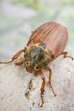 Maybug on a rock Stock Photo