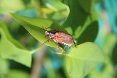 Maybug sammanträde på de gröna sidorna av lilan Makro Arkivbilder