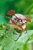Maybug sitting on green leaf Stock Photos