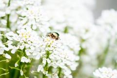 Maybug verde sui fiori bianchi Immagini Stock