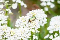 Maybug verde sui fiori bianchi Fotografie Stock Libere da Diritti