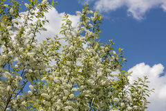 Mayday Tree in Bloom Stock Photos
