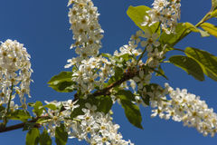 Mayday Tree Branch Stock Images