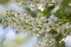 Mayday tree flowers in the spring. Bird Cherry Prunus padus blossoms in early Spring in Calgary, Alberta, Canada Royalty Free Stock Photo