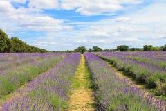 Mayfield-Lavendel-Bauernhof, Großbritannien stockfotografie