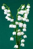 mayflowerowie Zdjęcie Stock