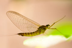 Mayfly. The fraility of a Mayfly's body is enhanced by the backlight stock photos