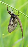 Mayfly. In an early morning royalty free stock photos