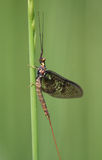 Mayfly Royalty Free Stock Photography