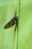 Mayfly Stockbild