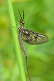 Mayfly. In early morning on a bent royalty free stock photos