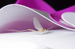 Mayfly Royalty Free Stock Photos