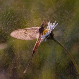 Mayfly. On the flower with beautiful light Royalty Free Stock Photo