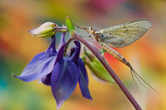 Mayfly. On the flower with multicolors background Royalty Free Stock Image