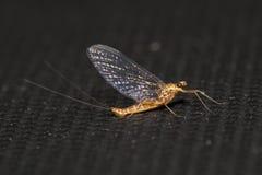 mayfly Royalty-vrije Stock Afbeeldingen