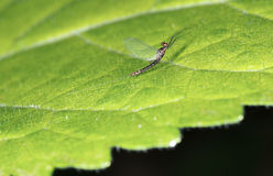 Mayfly aka Shadfly - Ephemeroptera. Stock Images