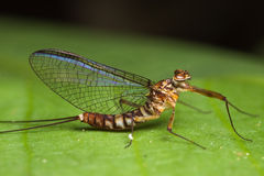 Mayfly auf dem grünen Blatt Stockfotografie