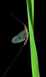 Mayfly 4 Royalty Free Stock Photo