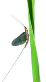 Mayfly 5 Stock Image