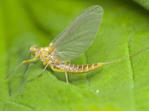 Mayfly, close-up Stock Photos
