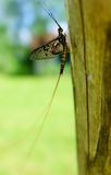 Mayfly Stock Image