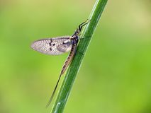 Mayfly. In an early morning on a plant stock images