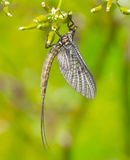 Mayfly (Ephemera danica) Stock Photo