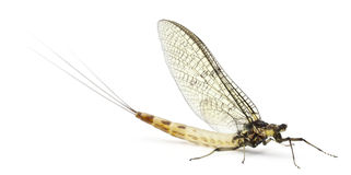 Mayfly, Ephemera danica stock photos