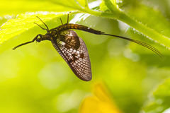 Mayfly (Ephemera  vulgata) Royalty Free Stock Photo
