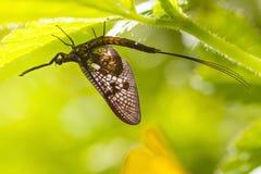 Mayfly (Ephemera  vulgata) Royalty Free Stock Photo