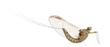 Mayfly, ephemeroptera Royalty Free Stock Photo