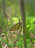 Mayfly (Ephemeroptera) Royalty Free Stock Photography