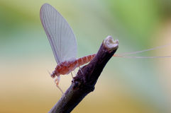 Mayfly or Ephemeroptera Stock Image