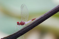 Mayfly or Ephemeroptera Stock Photo