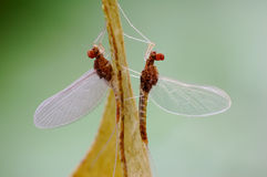 Mayfly or Ephemeroptera Royalty Free Stock Photo