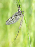 Mayfly on grass Stock Photography