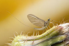 Mayfly at high magnification