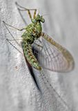 Mayfly Stock Photography