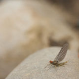 Mayfly Macro Stock Photos