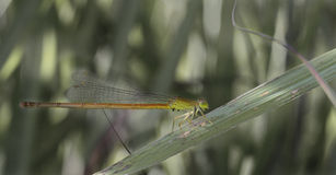 Mayfly Stock Photo