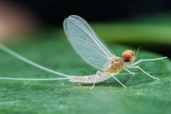 Mayfly male. On green leave Stock Image