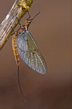 The mayfly that may fly Royalty Free Stock Images
