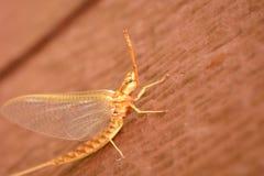 Mayfly na drewnie Fotografia Royalty Free
