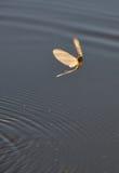 Mayfly