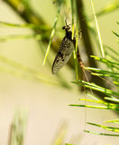 Mayfly on Pine Stock Image